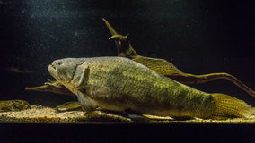 Stor fisk i museum Arkivfoto