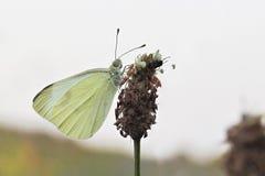 Stor fjäril för kålvit (Pierisbrassicae) Arkivfoton