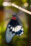 Stor fjäril för Mormon (Papilio memnonagenor) Arkivfoto