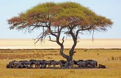 Stor flock av blå gnuskuggning under ett akaciaträd arkivfoto