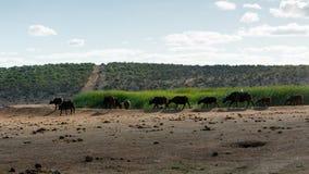 Stor flock av den afrikanska buffeln Royaltyfri Foto