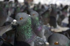 Stor flock av duvacloseupen royaltyfria foton