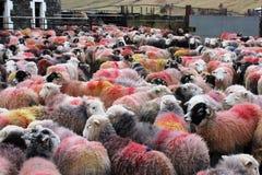 Stor flock av färgrika Herdwick får i gårdsplan Royaltyfri Bild