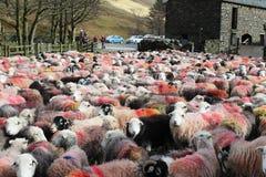 Stor flock av färgrika Herdwick får i gårdsplan Arkivbilder