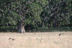 Stor flock av fåglar i ett fält Royaltyfria Bilder