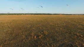 Stor flock av fåglar som flyger över fält lager videofilmer