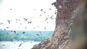 Stor flock av fåglar som flyger på klippan i sommardag över floden arkivfilmer