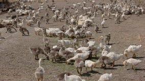 Stor flock av g?ss fotografering för bildbyråer