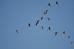 Stor flock av Kanada gäss royaltyfria bilder