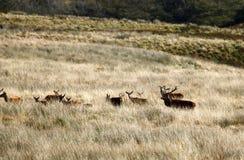 Stor flock av röda hjortar under brunsten Arkivbilder