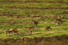 Stor flock av röda hjortar under brunsten Arkivfoto