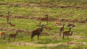 Stor flock av röda hjortar under brunsten Royaltyfria Foton