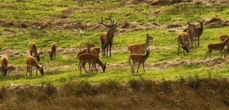 Stor flock av röda hjortar under brunsten Arkivfoton
