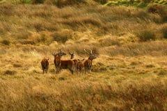Stor flock av röda hjortar under brunsten Arkivbild