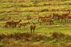 Stor flock av röda hjortar under brunsten Royaltyfria Bilder