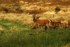 Stor flock av röda hjortar under brunsten Fotografering för Bildbyråer