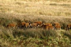 Stor flock av röda hjortar under brunsten Royaltyfri Foto