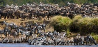 Stor flock av sebror som framme står av floden kenya tanzania Chiang Mai serengeti Maasai Mara arkivfoto