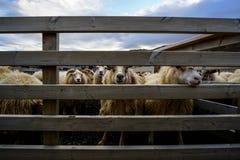 Stor flock av sheeps, Island arkivbild