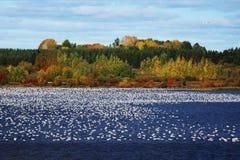Stor flock av snögäss på vatten Arkivbild