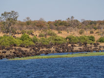 Stor flock av vattenbufflar som dricker från den Chobe floden, Chobe NP, Botswana, Afrika Royaltyfri Fotografi