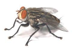 stor fluga Royaltyfria Bilder