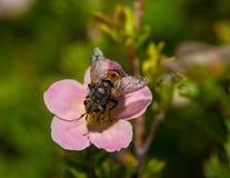 Stor fluga på en rosa blomma Royaltyfri Bild
