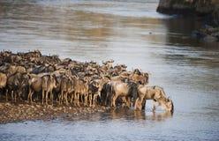 Stor flyttning för gnu, Kenya royaltyfria foton