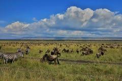 Stor flyttning i masaien Mara arkivbild