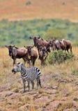 Stor flyttning i masaien Mara arkivfoto