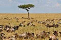 Stor flyttning i masaien Mara arkivbilder