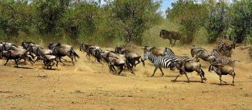 Stor flyttning i masaien Mara royaltyfri bild