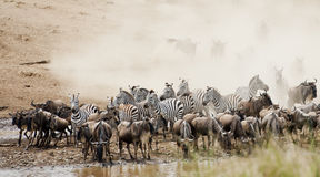 Stor flyttning Kenya royaltyfri bild