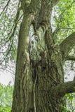 Stor fnuren i ett träd royaltyfria bilder
