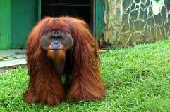 Stor formatorangutang på zoo som stirrar till åhörare arkivfoto