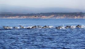 Stor fröskida av Stillahavs- gemensamma delfin under vatten Royaltyfri Foto