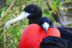 Stor Frigatefågel under dess parande ihop ritual royaltyfri foto