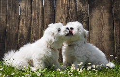 Stor förälskelse: två behandla som ett barn hundkapplöpning - bomullsde Tulear valpar - att kyssa Arkivbild