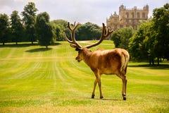 Stor fullvuxen hankronhjort för röda hjortar på Wollaton Hall fotografering för bildbyråer