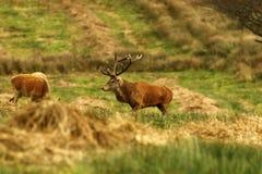 Stor fullvuxen hankronhjort, röd hjort under brunsten Royaltyfri Fotografi
