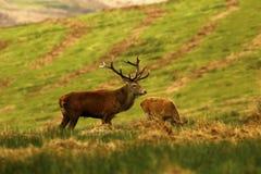 Stor fullvuxen hankronhjort, röd hjort under brunsten Arkivfoton