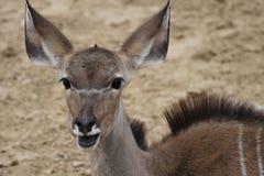 Stor gå i ax antilop royaltyfri bild