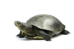 Stor-gå i ax sköldpadda Royaltyfri Fotografi