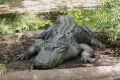 stor gammal alligator Royaltyfri Foto