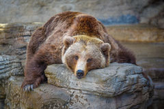 Stor gammal björn Arkivbild