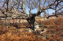 Stor gammal bokträd arkivfoton
