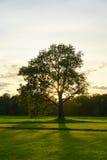 Stor gammal ek i ett fält på solnedgången Royaltyfri Foto