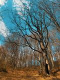 Stor gammal ek med en enorm fördjupning arkivbilder