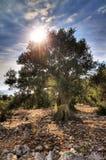 Stor gammal olivgrön tree Arkivbild