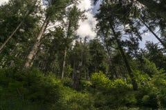 Stor gammal skog Belianske Tatry slovakia royaltyfri foto
